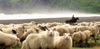 The Annual Sheep Roundup